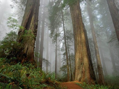 Bosque de secuoyas, precioso ^^